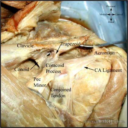 acromioclavicular joint anatomy