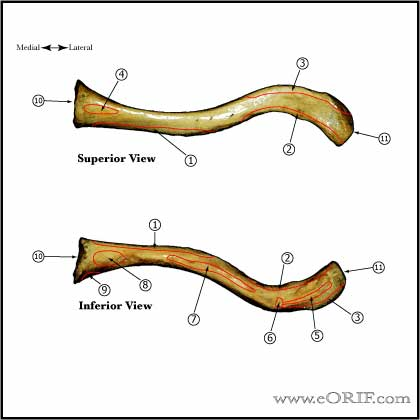 Clavicle - Superior and Inferior views